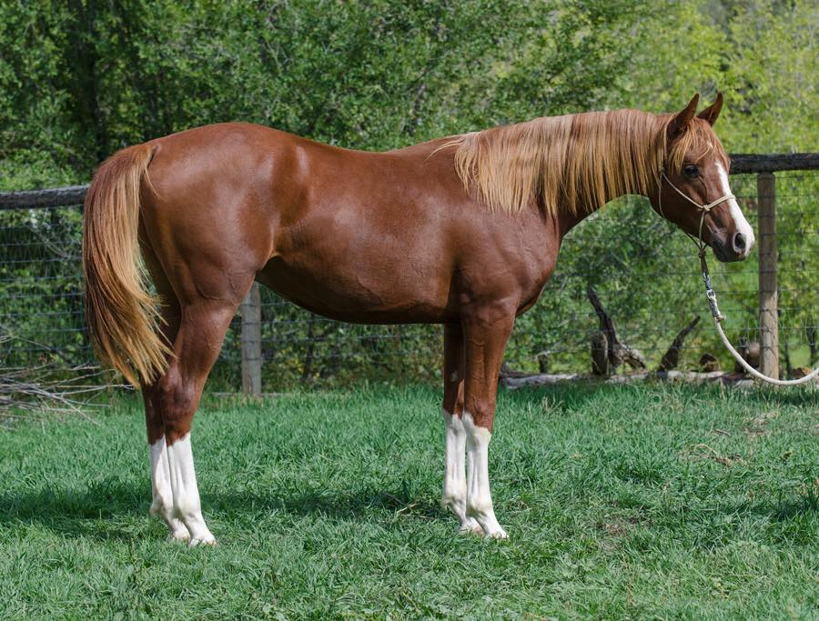 SH Chrome 45, a 2014 purebred colt by Nobles Top Gun and out of Arissta TWR. He is big, beautiful, and ARBC nominated. We are sure proud of how he's growing up. Offered for sale.