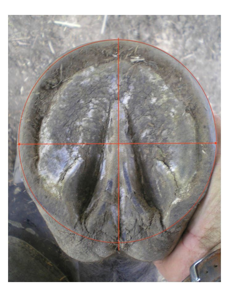 For you hoof geeks, the geometry on this hoof is beautiful. Center of mass line at widest part of hoof bisected by the frog axis creates a radius that describes a circle that contacts both the break over at the toe and the points of heel almost perfectly.