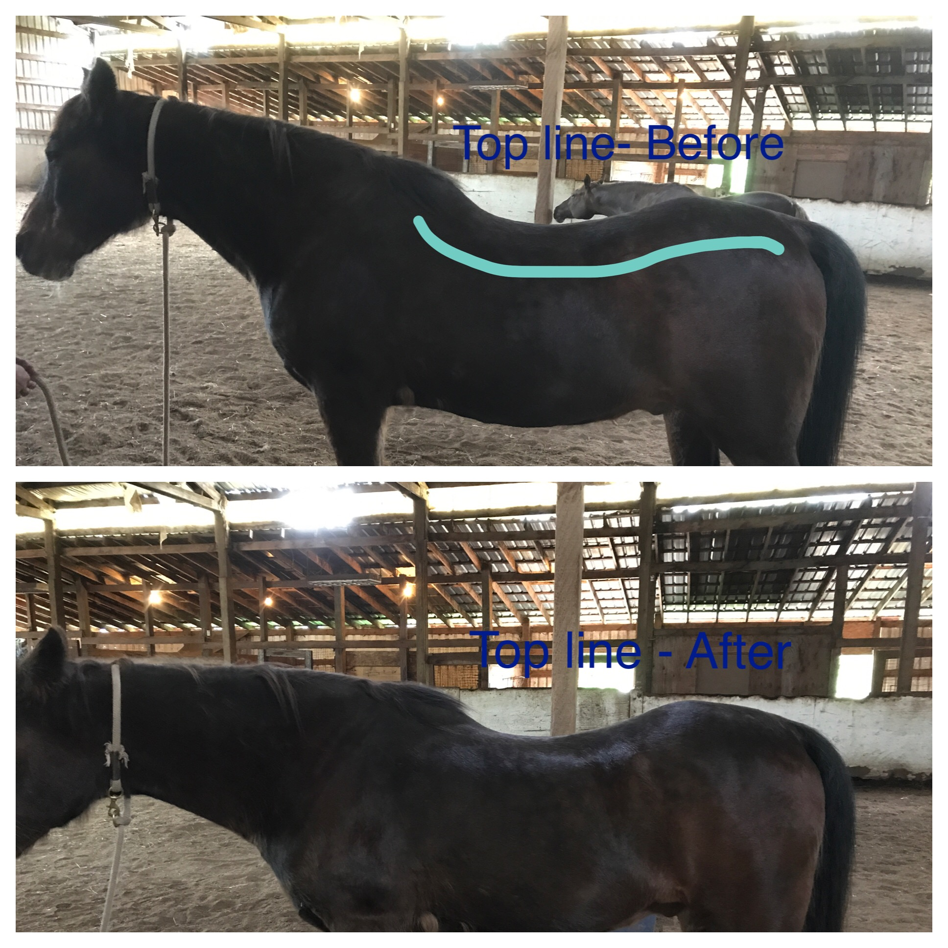 This is a 36 year old arabian gelding.  With age his body had shifted and it had become uncomfortable for him to move freely.  At the end of one session, his topline had shifted and changed enabling him to move more easily and comfortably.