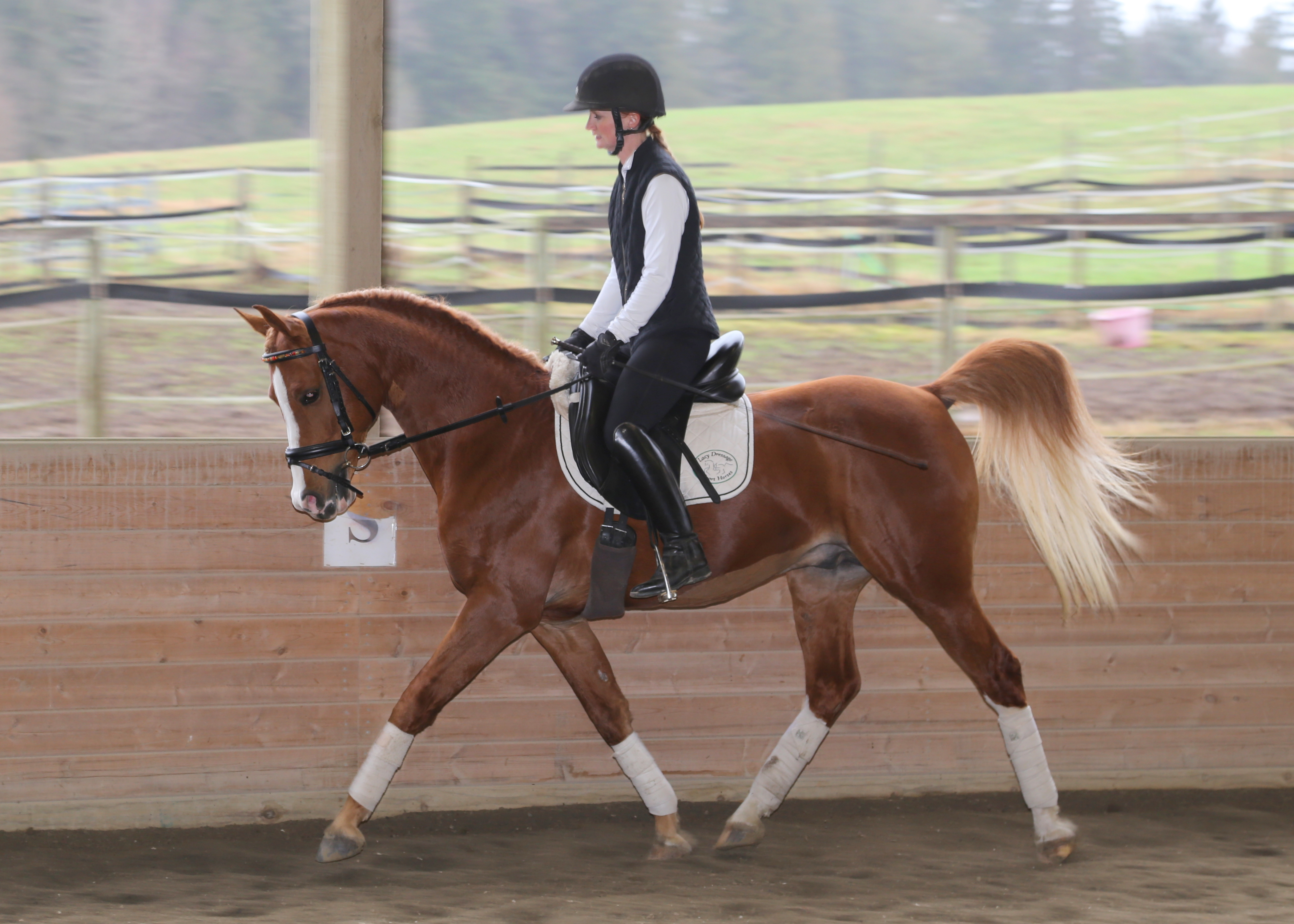 Mr Fancy Pants doing his job! He is so much fun to ride! I can't wait to compete him this year.