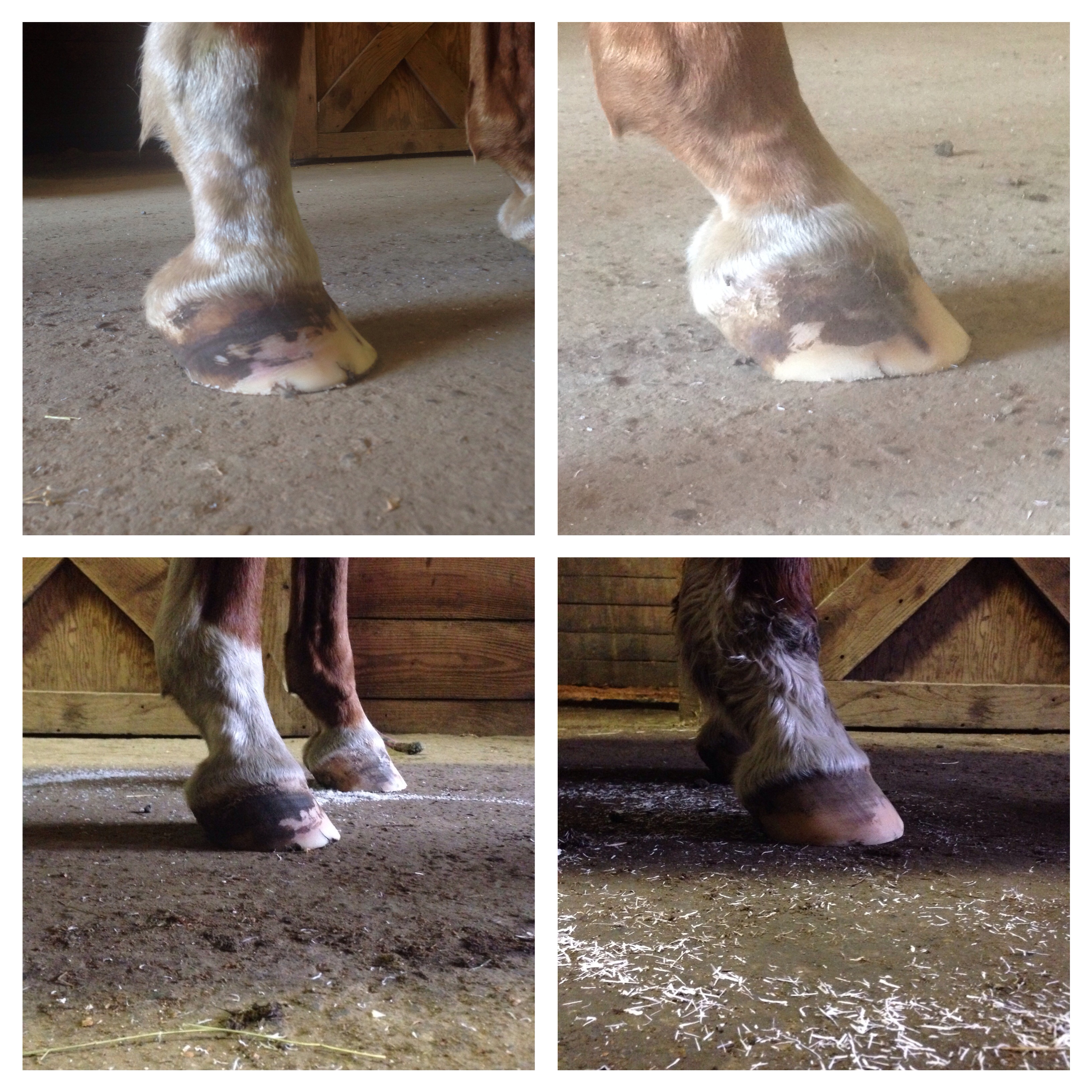 27 year old horse, lame to sound hoof progress