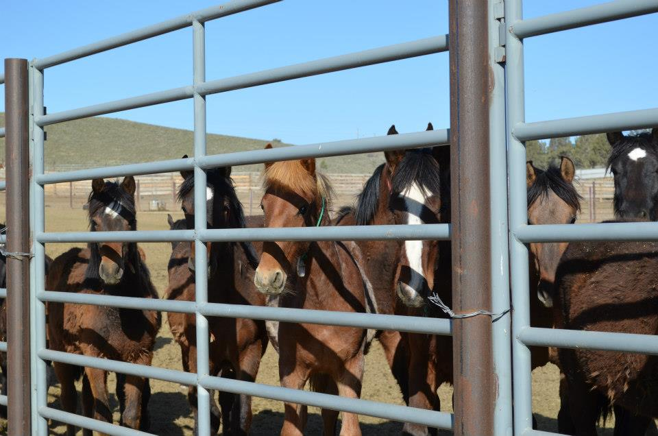 Yearlings in the pens in Burns Oregon.  So many to choose from.