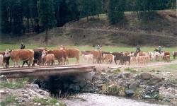 DK Cattle drive.jpg