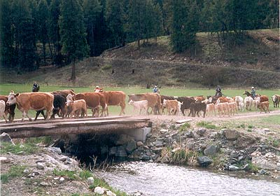 Moving the cattle.