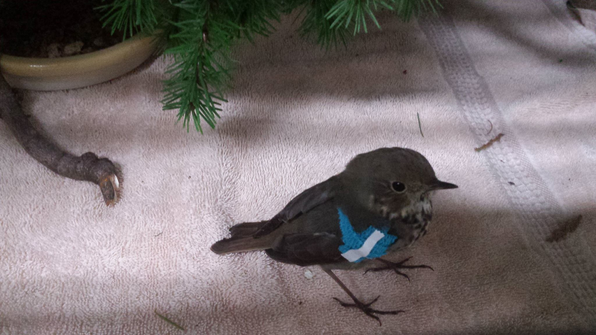 Sporting this fashionable blue bandage is a Hermit Thrush.
