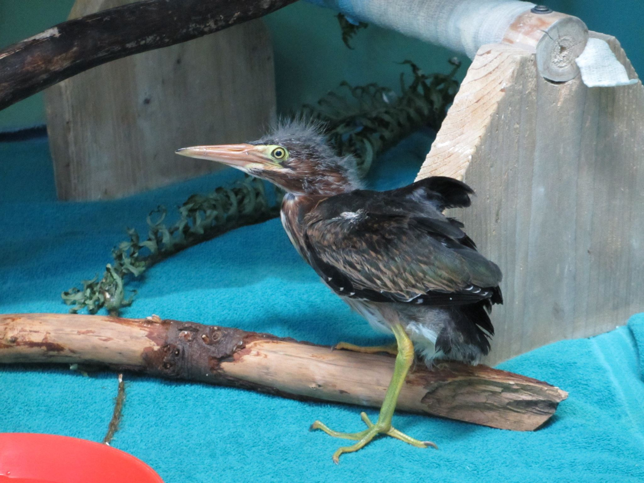This cute little green heron is one of our current patients. We have many species of birds and mammals in our care this summer. Each has a unique diet – this little guy will be eating live minnows. Your donations help us feed and care for this heron and all the other patients here right now.