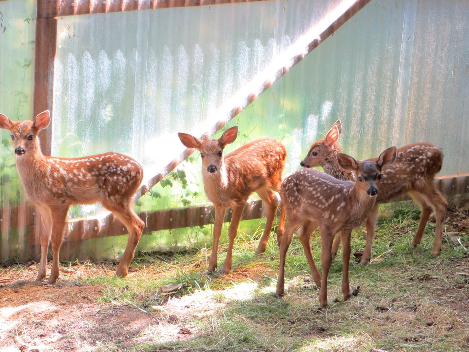 Lots of deer are here at Sarvey Wildlife – drinking LOTS of formula. These four are waiting their turn for vaccinations.