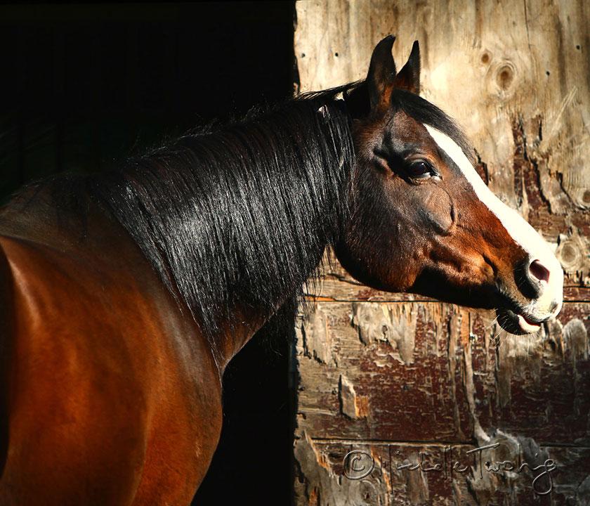 Custom Art of your horse
