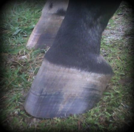 I believe that the long term soundness and usefulness of your horse depends on the quality of the hoof care your horse receives over its lifetime.