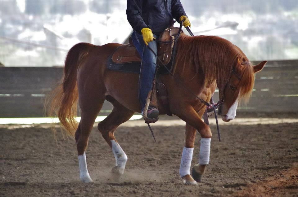In addition to work under saddle, our horse training includes ground manners, clipping, bathing, tying, hauling, sacking out, exposure to environmental factors, and schooling shows (if desired).