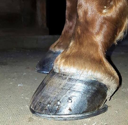 Did you know: the quality of a horse's hoof is directly related to it's moisture content which varies greatly from one place to another. The hoof wall is made up of roughly 25% water, the sole 33% and the frog 50%. Extremely dry or wet walls will result in a weaker hoof therefore more susceptible to failure and abnormalities.