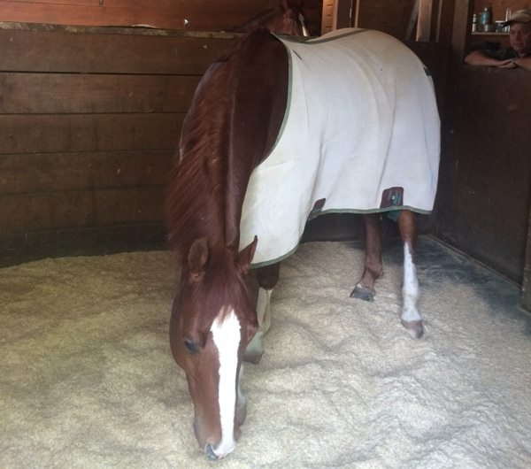 Users tell us that Horses and Livestock lie down more with PrimeBed in their stall compared to other beddings, and remain cleaner without moisture soiled bedding stains being left on coats and blankets.